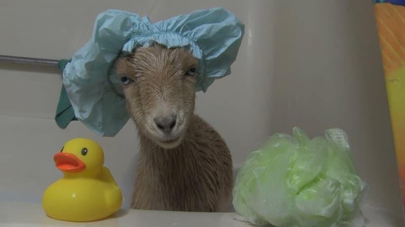 Goat wearing a shower cap